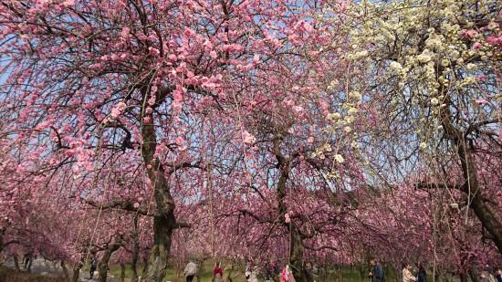 梅林公園の梅