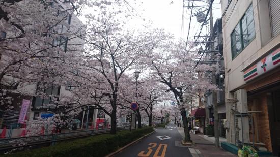 四谷通の桜
