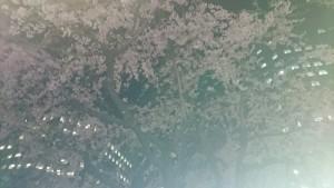 夜桜見納め