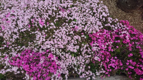 ピンク系の芝桜
