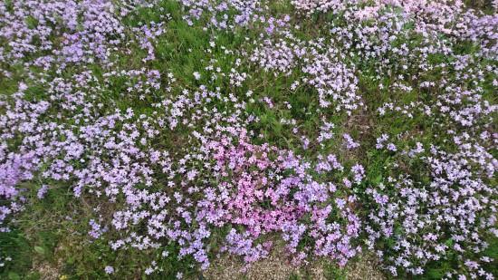 いろいろ混じった芝桜