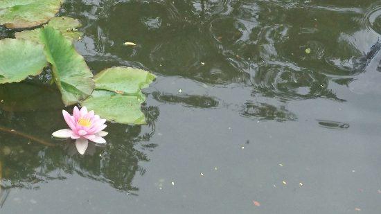 香恋の館の蓮の花