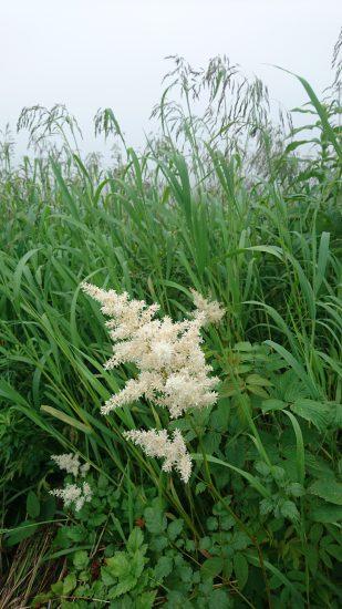高峰高原白い野花